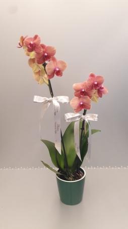 iki dal sarı orkide