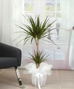 2 Li Marginata Saksı Ççeği