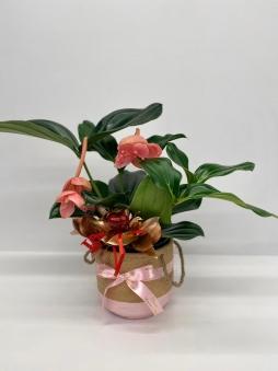 Medinilla çiçeği