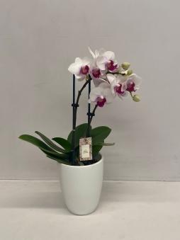 Mini orkide beyaz
