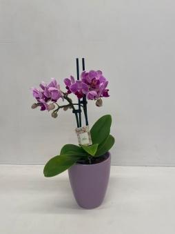 Mini mor orkide