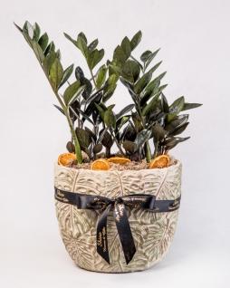 Zamia Siyah Yapraklı