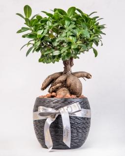 Dekoratif Vazoda Bonsai