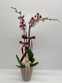 Çift dallı benekli mor orkide