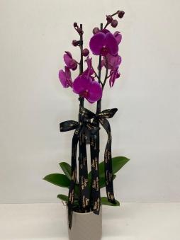 Çift dallı mor orkide