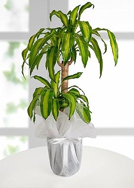 2 Li Masengena Saksı Çiçeği